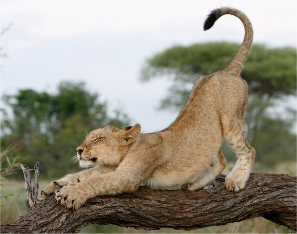 León estirándose.