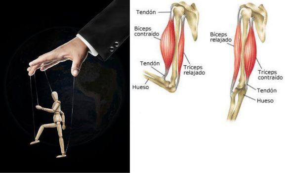 Marioneta junto a dibujo de los músculos y tendones del brazo.