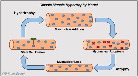 Modelo clásico de hipertrofia muscular