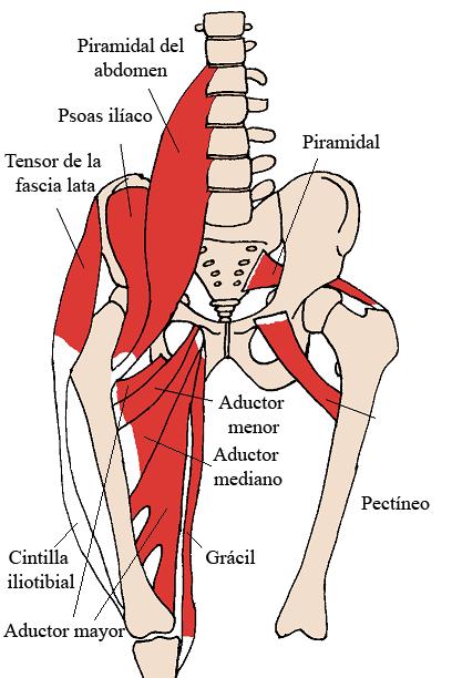 Músculos de la cadera