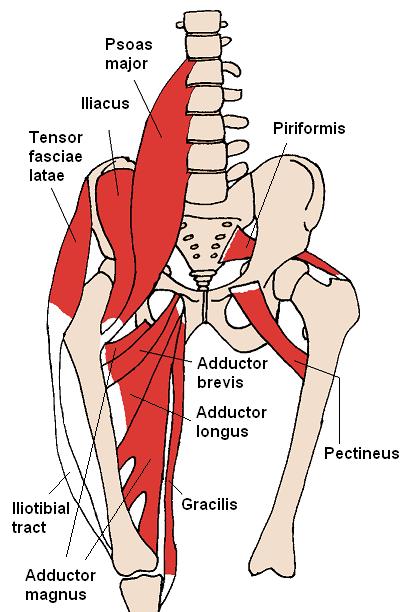 Músculos anteriores de la cadera